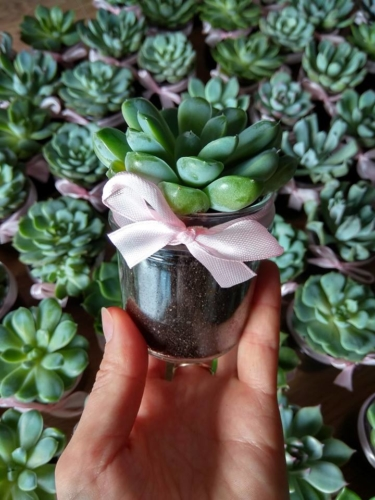 Sukulent w mini słoiczku z różową wstążką